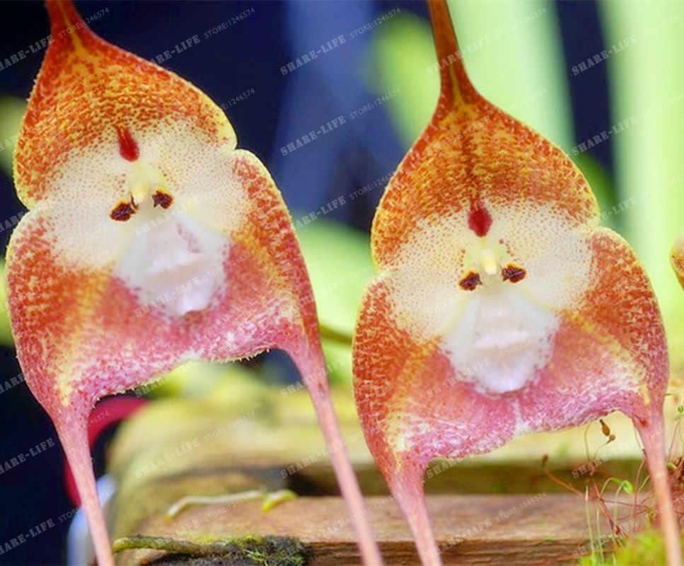 100 piezas. 5 tipos de orquídeas con cara de mono bonsái orquídea bonsái plantas flores para el hogar y el jardín envío gratis