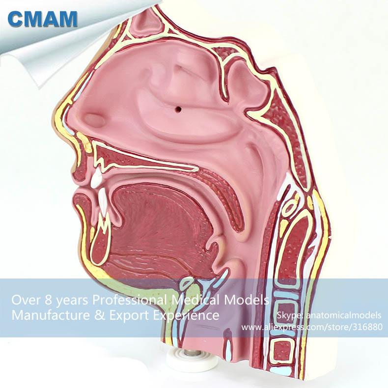 CMAM-THROAT04-1 Anatomy Nose Nasal Cavity Anatomical Model cmam throat05 human ent physiology nasal cross section anatomy model of nose throat