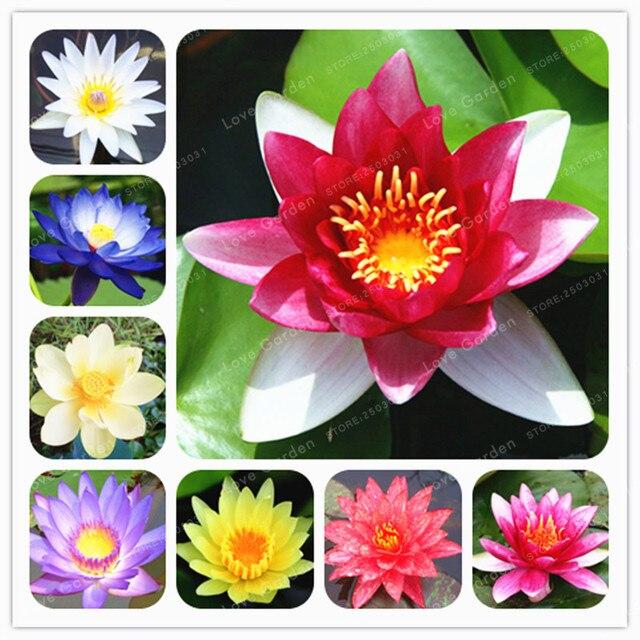 النباتات المائية إناء زهور اللوتس زنابق الماء نبات اللوتس 100% حقيقية قوس قزح النبات النباتات المائية زهرة بونساي 10 قطع