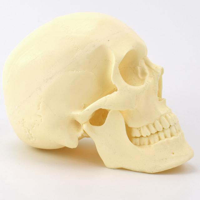 12320 / Simulated bone, Human Medical Anatomy Skull, Medical Orthopaedic Operative Training Model
