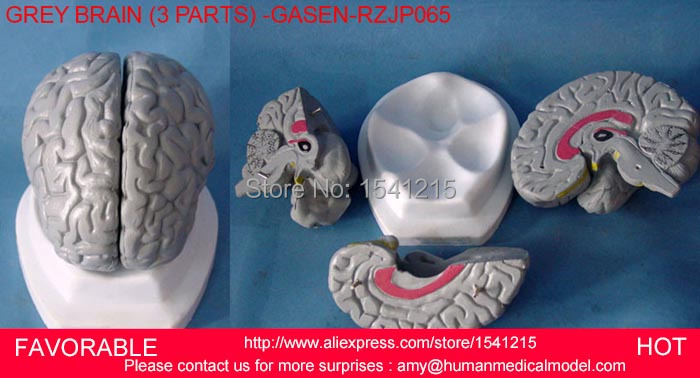 HUMAN HEAD ANATOMICAL MODEL BRAIN MODEL MEDICAL SCIENCE TEACHING SUPPLIES,HUMAN HEAD ANATOMICAL , BRAIN MODEL  -GASEN-RZJP065 2 part anatomical healthy human uterus and ovary model female medical anatomy teaching supplies