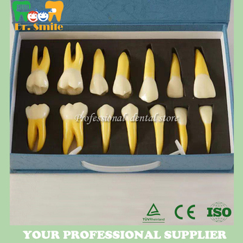 4 Times Permanent Anatomical Teeth Model, Dental Anatomical Model (Right 14pcs)