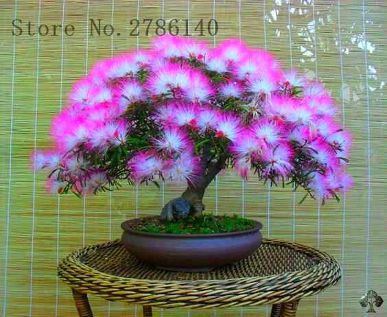 10 pcs/bag Acacia seeds bonsai Albizia Flower seeds called Mimosa Silk Tree, potted plants ornamental-plant for home garden