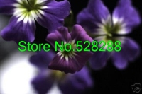Rare Indigo Forget-me-not 60+seeds/pack Flower Seeds / Perennial Garden Decoration Bonsai