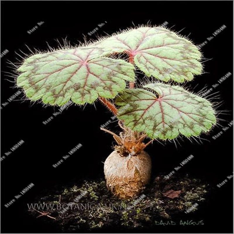 New Rare Beautiful Geranium Flower Seeds 100 Seeds Bag
