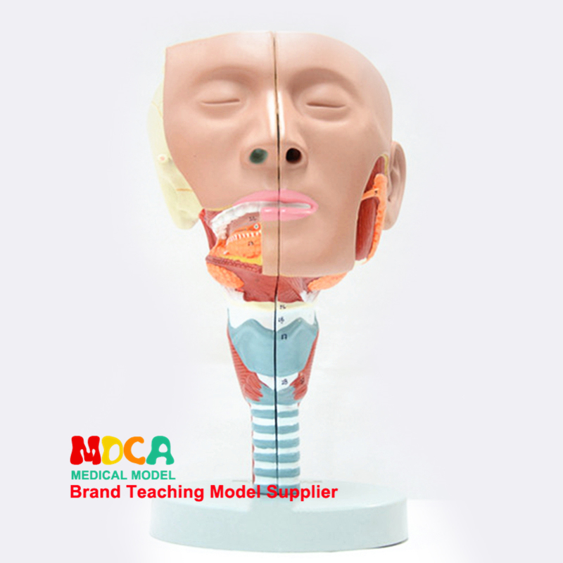 Split two-part pharyngeal and laryngeal anatomical model Oral-nasal model Anatomical head of lingual muscle model medical teach