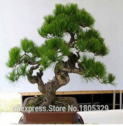 FREE SHIPPING 30pcs/Bag Japanese Pine Tree Seeds bonsai flower easy to plant DIY