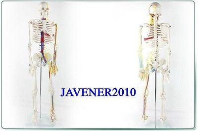 85cm Human Anatomical Anatomy Skeleton Medical Model Blood Vessel +Stand human female pelvic section anatomical model medical anatomy on the base