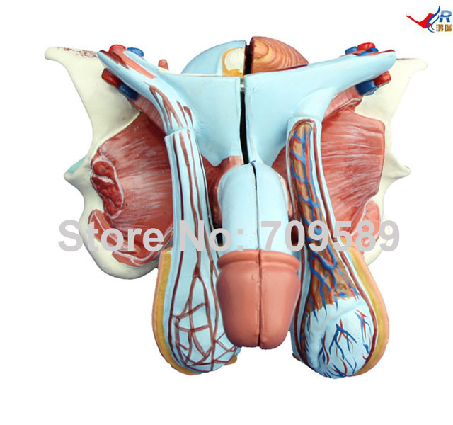 Male Genital Organ Model-in Medical Science from Office & School ...