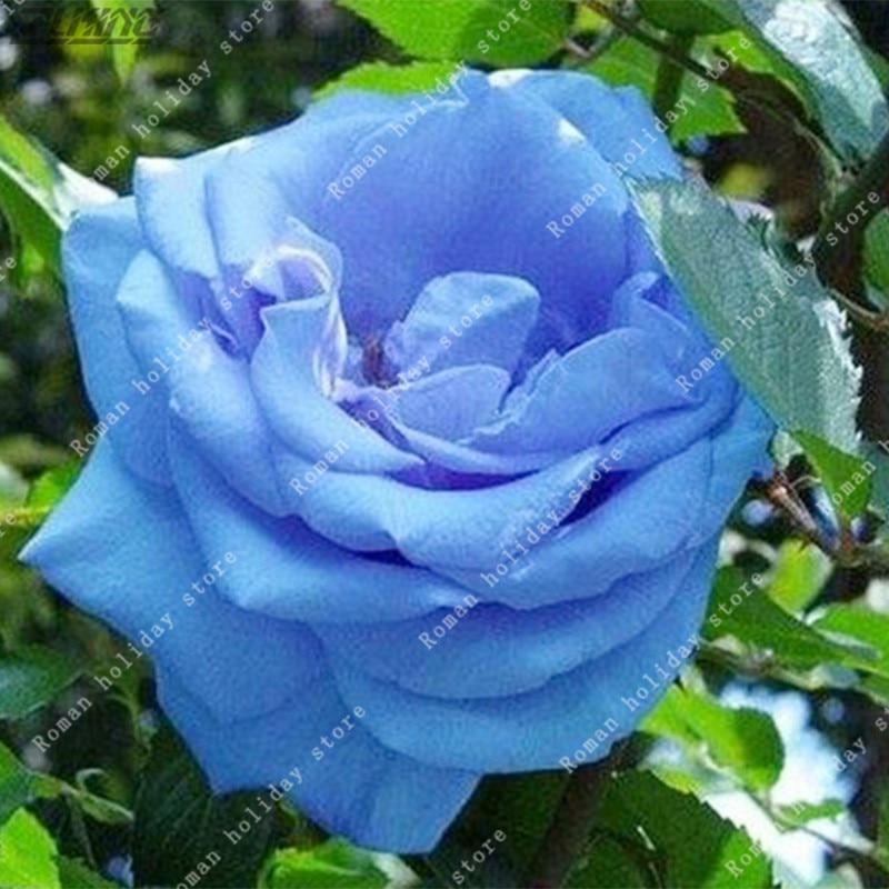 fleur hollande-achetez des lots à petit prix fleur hollande en