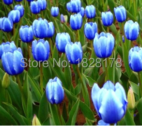 tulipe bleu