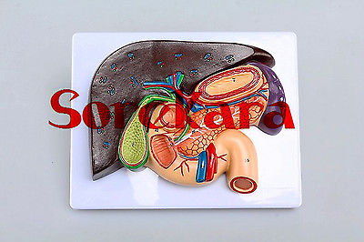 Human Anatomical liver gallbladder pancreas spleen stomach section Medical Model School Hospital human anatomical body integral organ distribution skin medical teach model school hospital hi q