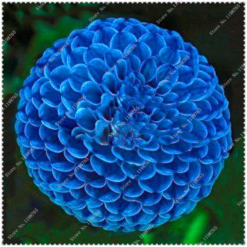 Hot Sale 200pcs/bag Unique Blue Fireball Dahlia Seeds Beautiful Flower Seeds,bonsai plant home garden
