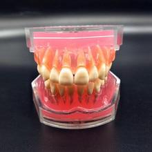 Стоматологическая Учебная модель стандартная модель съемные зубы мягкая резинка для взрослых