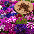 30Pcs/Pack Home and Garden Florists Cineraria Senecio Cruentus Flower Seeds hot sale