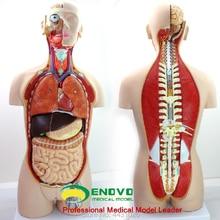ENOVO 85 の解剖モデル解剖モデルの解剖学の人間の臓器システムで センチ