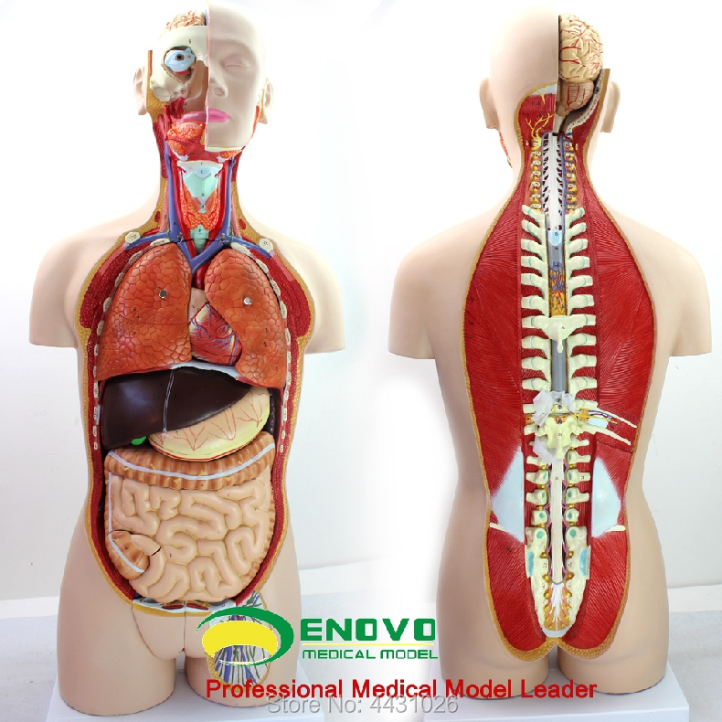 ENOVO Anatomical model of anatomical model of anatomy of human organ system in 85CM skin model dermatology doctor patient communication model beauty microscopic skin anatomical human model