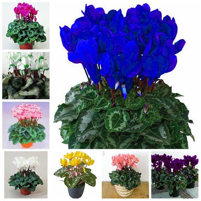 100 unids/bolsa japonés colorido Bonsai Cyclamen Persicum Flor al aire libre y de Interior en maceta planta de jardín Orejas de conejo flor