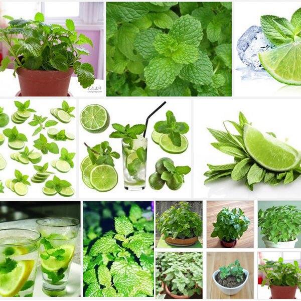 Зелень растений семена Mentha citrata, травяные лимонный бальзам, лимон мята семена, около 100 частиц