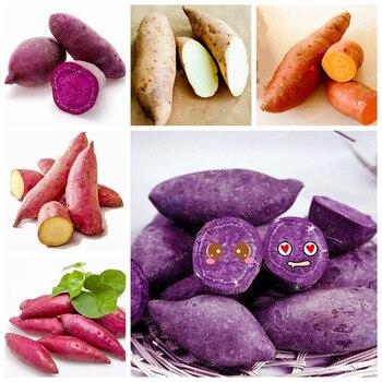 20 шт. сладкий картофель бонсай вкусные фиолетового цвета для батата овощей бонсай свежий, органический фруктовый и овощной садовый завод
