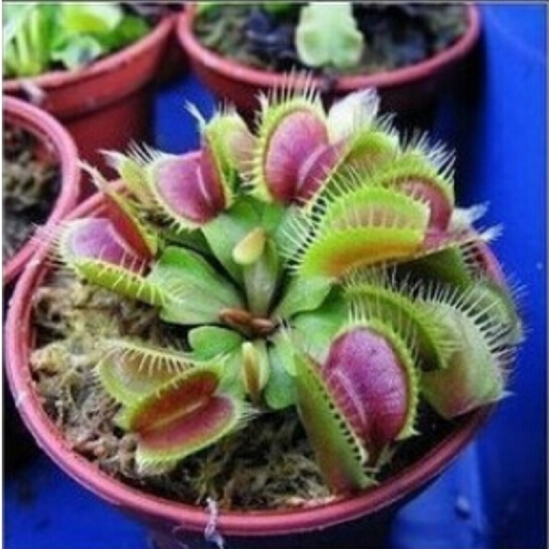 PROMOTION Potted Insectivorous Plant Seeds Dionaea Muscipula Giant Clip Venus Flytrap Seeds 100pcs