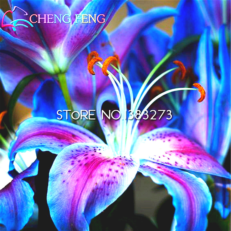 50pcs Lily Seed Cheap Chinese Seeds 97 Germination Diy