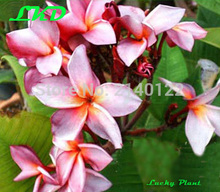 7-15inch Rooted Plumeria Plant Thailand Rare Real Frangipani Plants no307-violet-red2