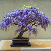 Истинного натуральном съемки, sinensis глициния глицинии семени семена, шт./пакет бонсай дерево