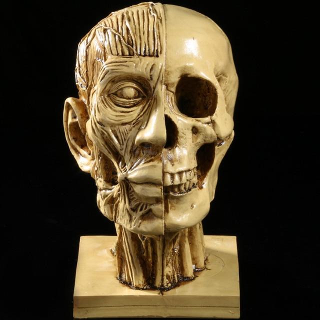 Life Size Half Head Muscle Skulls Simulation Teaching Supplies Crafts Resin  Skull Model Home Decoration