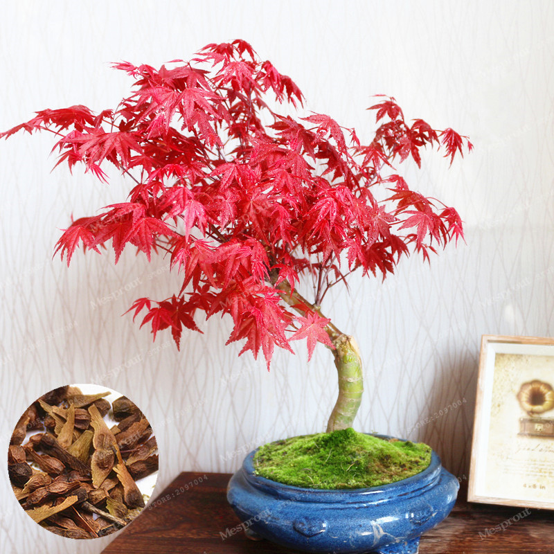 Detail Feedback Questions About 20 Pcs Red Maple Bonsai Rare Tree