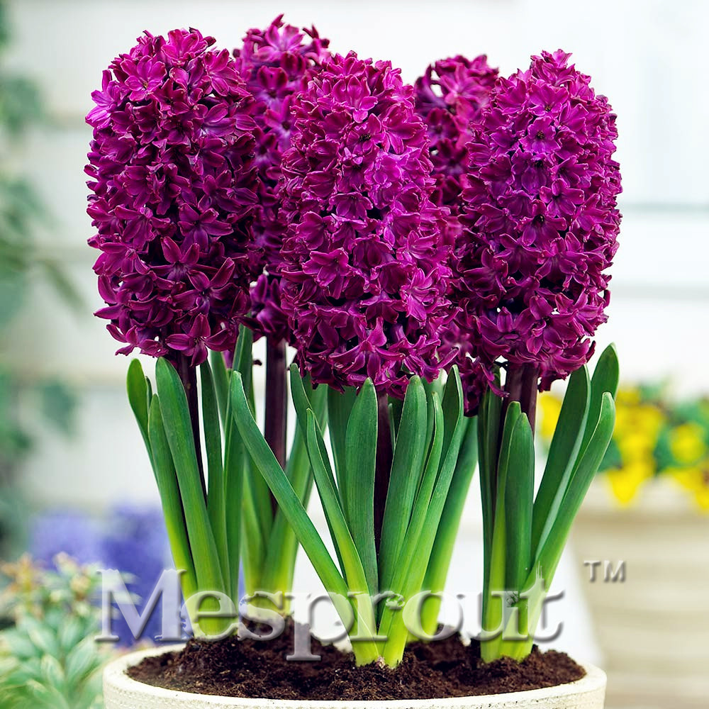 New hyacinthus orientalis seeds cheap hyacinth seeds hyacinth new hyacinthus orientalis seeds cheap hyacinth seeds hyacinth potted seed bonsai balcony flower seeds for home izmirmasajfo