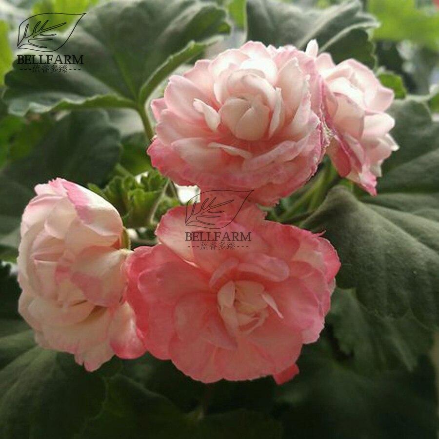 Bellfarm Bonsai Geranium J Camellia Double Pink Flowers