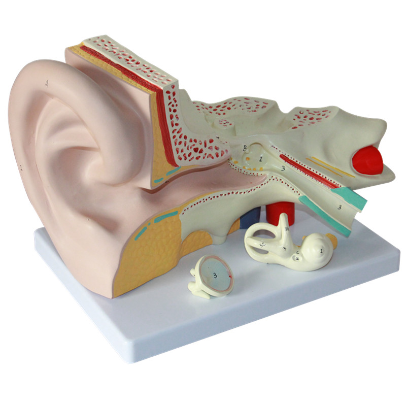 HeyModel Human ear anatomy model ear model inner ear labyrinth model ENT ear structure model 3 1 human anatomical kidney structure dissection organ medical teach model school hospital hi q