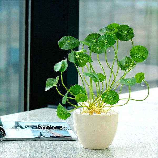 30seeds/bag Hydroponics Flower Aquarium Plants Penny Grass Seeds Best  Indoor Bonsai Plants Jardin Hydrocotyle