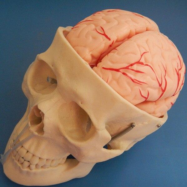 Как висят мозги человека в черепе фото