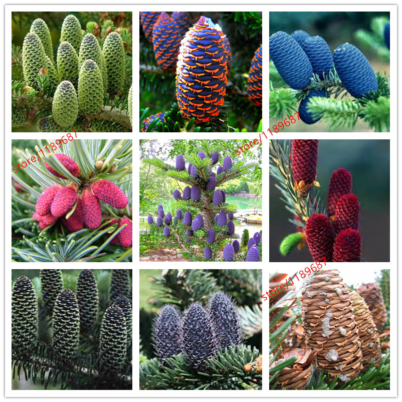 100pcs/lot rare Korean Fir,Abies koreana seed 24 colours bonsai flower seeds plant DIY home garden free shipping