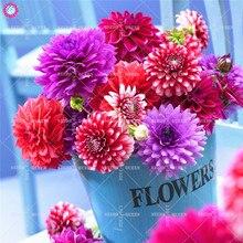 2pcs Dahlia Bulbs Beautiful Indoor Bonsai Flower Bulbs NOT SEEDS Perennial Blooming Plants for Home Garden Decor Best packaging