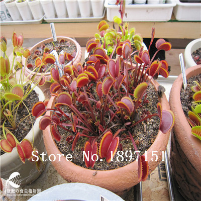 Big sale 300PCS Potted Insectivorous flower Seeds Dionaea Muscipula Giant Clip Venus Flytrap Seeds