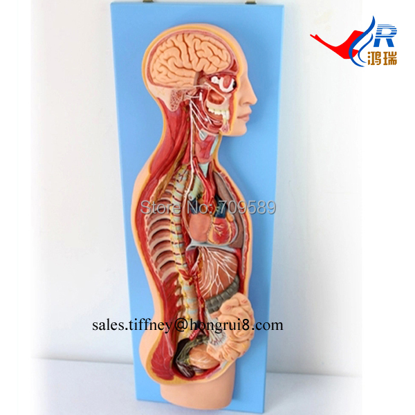 Deluxe Anatomical Sympathetic Nervous System Model human anatomical sympathetic nervous system anatomy medical model