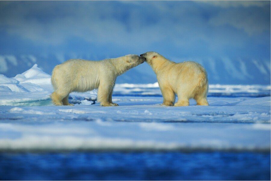 Il d personalizzato murales d due orsi polari stanno giocando