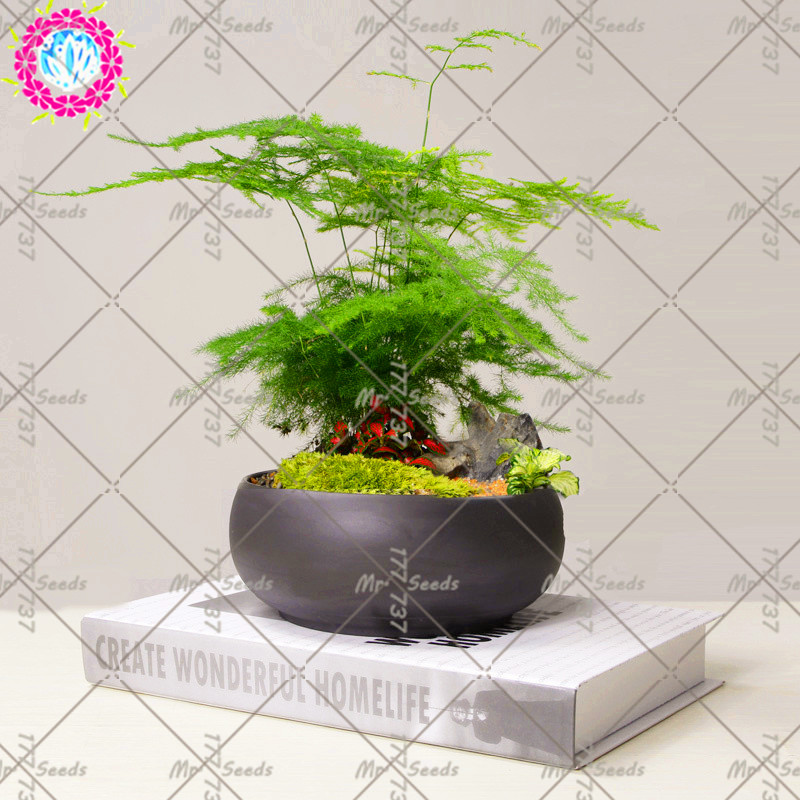 20pcs/bag Asparagus Setaceus Seeds Evergreen Indoor Potted Plants Bonsai Small Bamboo Seeds For Home Garden A Symbol Of Eternity