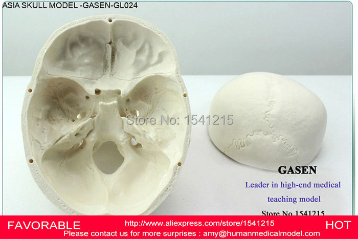 MEDICAL TEACHING MEDICAL HUMAN BODY ASIAN EDITION HUMAN SKULL MODEL SKULL DENTISTRY ANATOMICAL MODEL SPECIMEN MODEL-GASEN-GL024 human anatomical body integral organ distribution skin medical teach model school hospital hi q