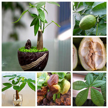 1 Seeds/pack Pachira Macrocarpa Seeds 100% True Bonsai Tree Seeds Whip Pachira for DIY Home Garden Household Items
