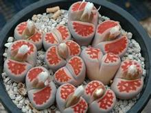20pcs Wholesale 100% authentic Mix Lithops  Succulent Plants rare plants, Bonsai organic