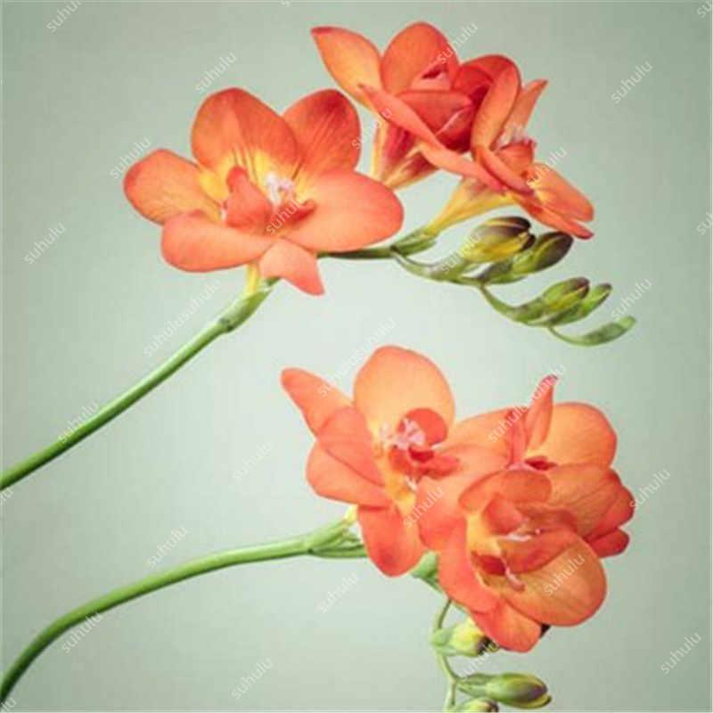 100 Pcs Mistura de Cores Freesia plantas Verdadeiro Rara Orquídea Tão Bonito Bonsai Interior Da Planta Da Flor Vaso de planta Fresca Raiz Miúdo presente