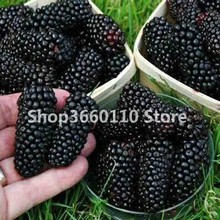 New 2018!100 Pcs/lot Sweet Black Berry Giant Blackberries Heirloom Blackberry bonsai Triple Crown Mulberry