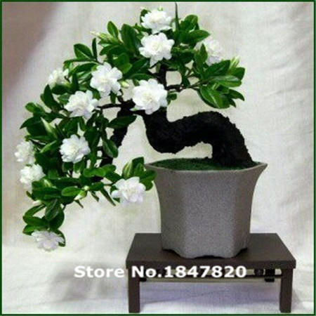 AAA 100 Gardenia Seeds (Cape Jasmine seeds DIY Home Garden Potted Bonsai, amazing smell & beautiful flowers, Free Shipping