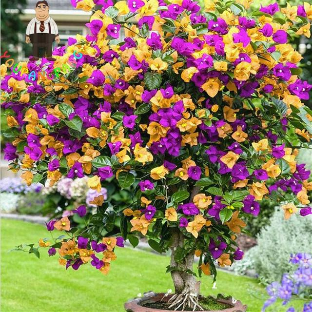 100 pcs color bougainvilliers graines balcon pot de fleur jardin fleurs graines en bonsa. Black Bedroom Furniture Sets. Home Design Ideas