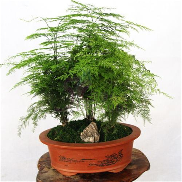 Compare Prices On Bamboo Plants Indoor Online Shopping