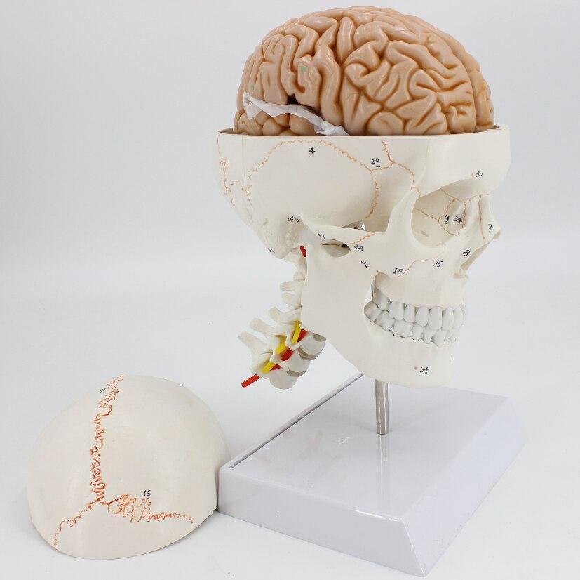 1 1 medical skull model brain anatomical model with digital coding number cervical spine skleotn model